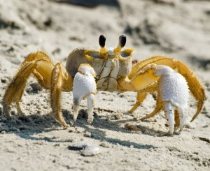 ghost-crabs-1[1]