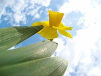 daffodil-sky.jpg