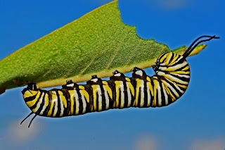caterpillar-562104_640.jpg